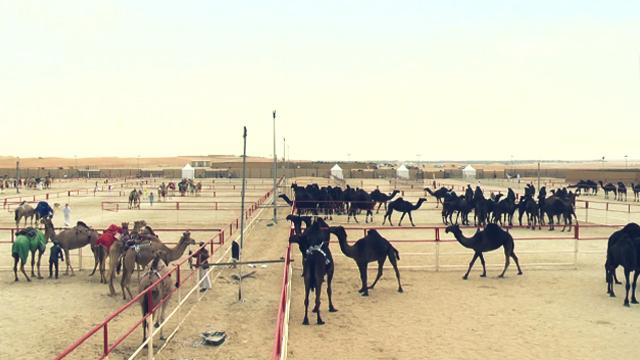 낙타 미모 대회는 검은 낙타와 모래색 낙타 부문으로 나뉘어 열린다