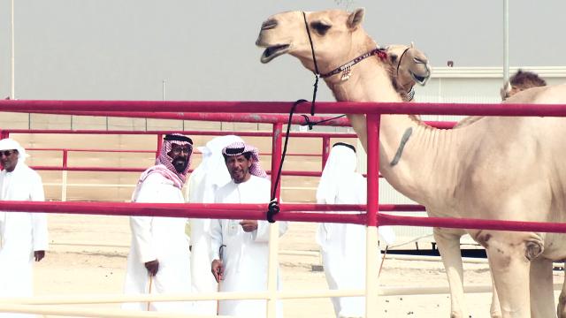 낙타를 평가하는 국가 공인 심사관들