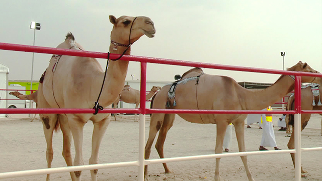 출전 낙타는 평균 2살. UAE에서는 경주대회 통과해야 미모대회에 출전 가능