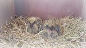 [영상] 귀염뽀짝! 아기 양비둘기 태어났어염! >_<