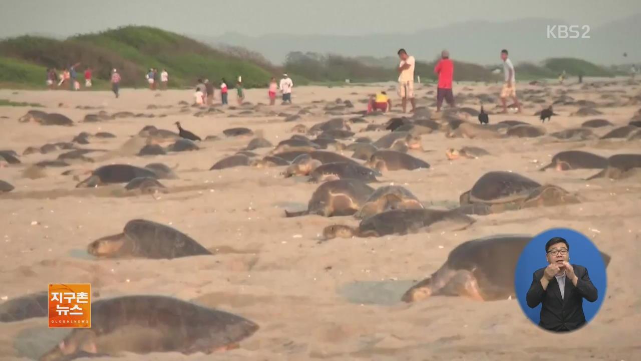 [지구촌 화제 영상] 멕시코 해변, 알 낳으러 온 바다거북 떼