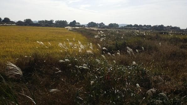 한강 장항습지 친환경 논에서 내일 첫 가을걷이