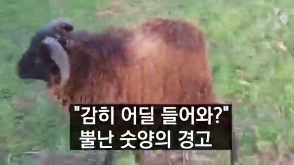 """[라인뉴스] """"감히 어딜 들어와?"""" 뿔난 숫양의 경고"""