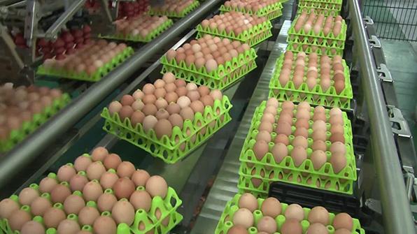 오늘 미국산 달걀 300만개 도착