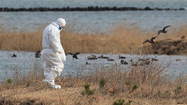 제주 철새 AI 바이러스 또 검출…이번엔 철새 폐사체