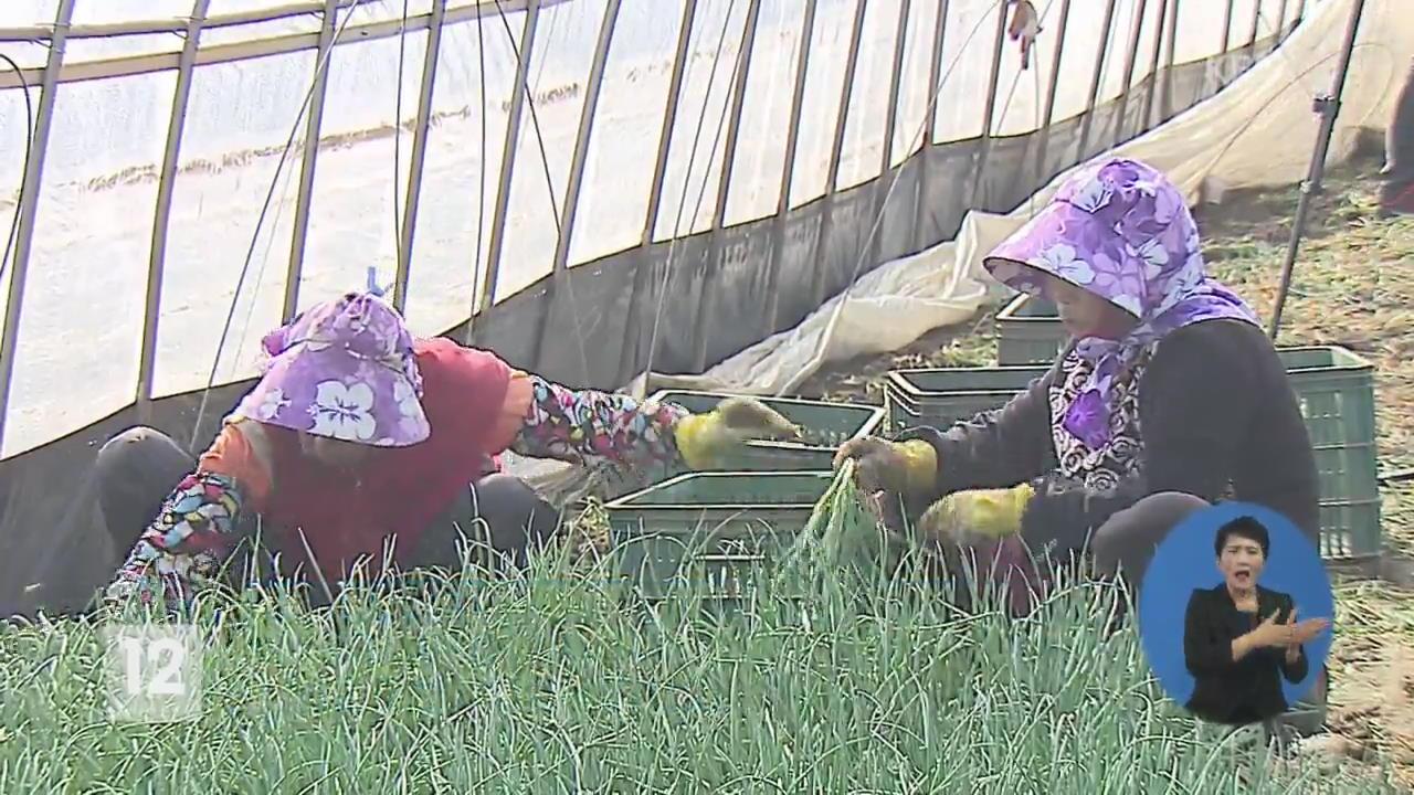봄맛 돋우는 쪽파 수확 한창