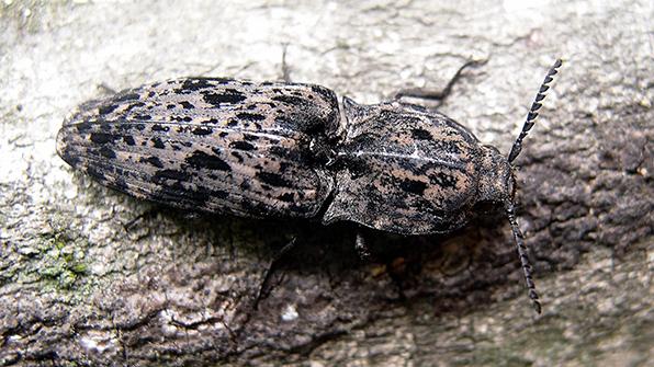 일본 서식 '방아벌레' 희귀종 국내 첫 발견