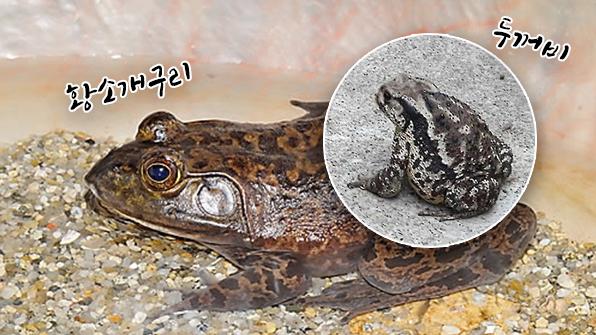 황소개구리로 착각해 두꺼비 요리해 먹은 50대 사망