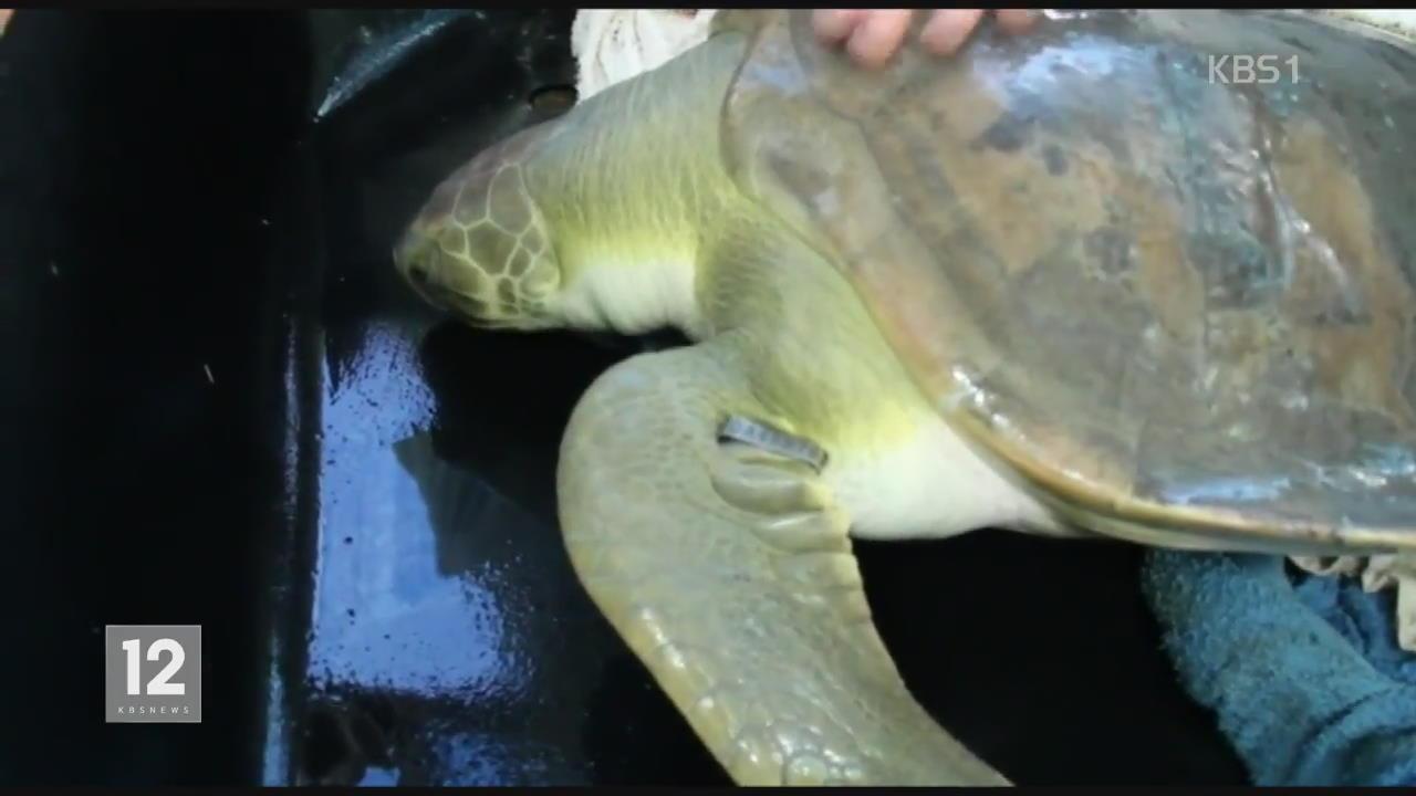 호주, 죽어가는 바다거북이 구조한 어린이