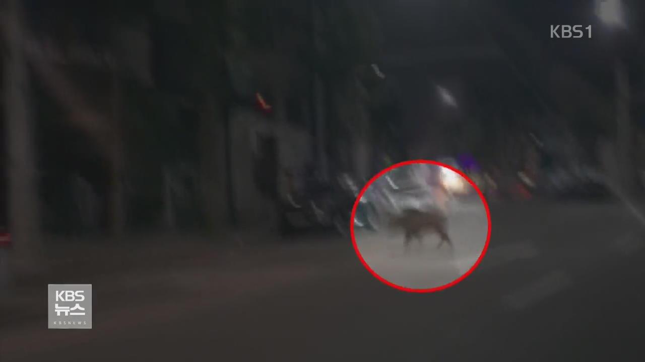 서울 도심 한밤 멧돼지 출몰…포획 실패
