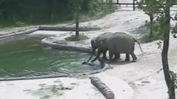 [고현장] 물에 빠진 아기 코끼리 '희망이' 구하기 작전