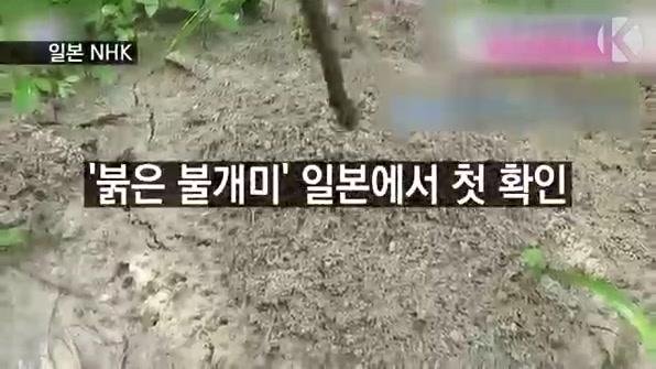 [라인뉴스] '붉은 불개미' 일본에서 첫 확인