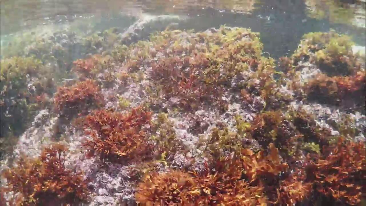 Bringing Back Seaweed