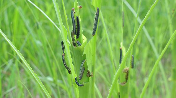 경기농기원, '멸강나방' 애벌레 확산…즉각 방제 당부