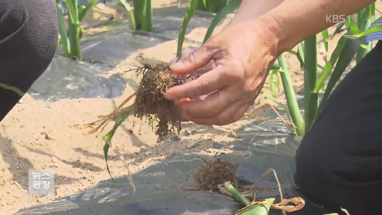 농작물 가뭄 피해 극심한데 공식 피해는 '0'