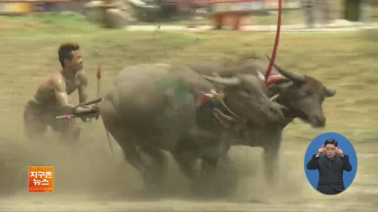 [지구촌 화제 영상] 140년 태국 전통 '물소 경주 대회'
