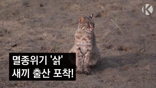 [라인뉴스] 자연방사 삵, 야생에서 가족 일구다