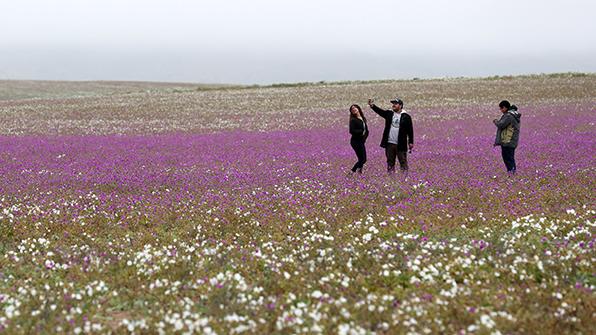 지구서 가장 건조한 칠레 아타카마 사막서 '때아닌 개화' 장관