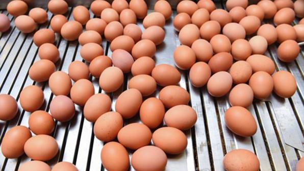 이탈리아서 피프로닐 오염 계란 9만여 개 적발