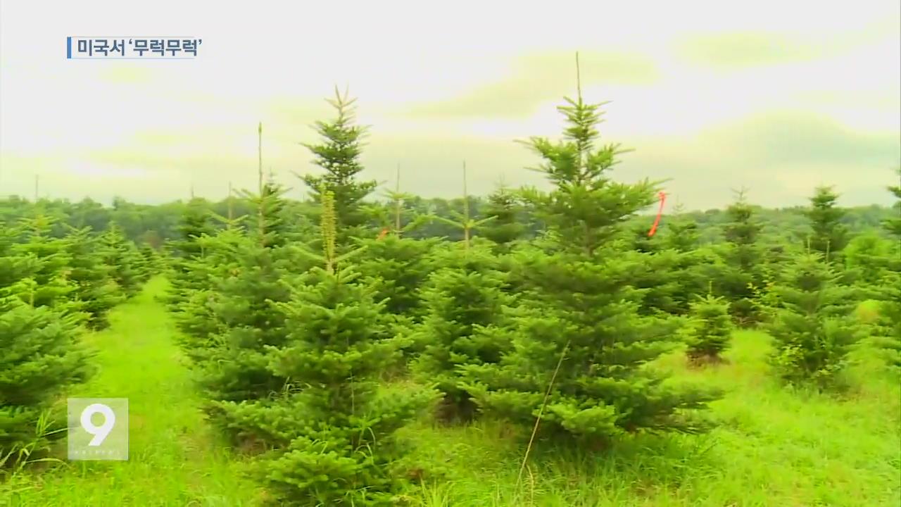 한국 토종 구상나무…미국서 '무럭무럭'