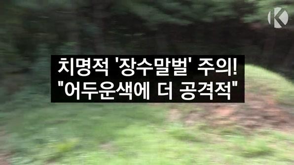 """[라인뉴스] 장수말벌 """"다리부터 공격하고 어두운색에 더 공격적"""""""