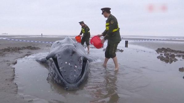 [고현장] 해변 떠밀려 온 고래…힘 합쳐 '구조 작전'