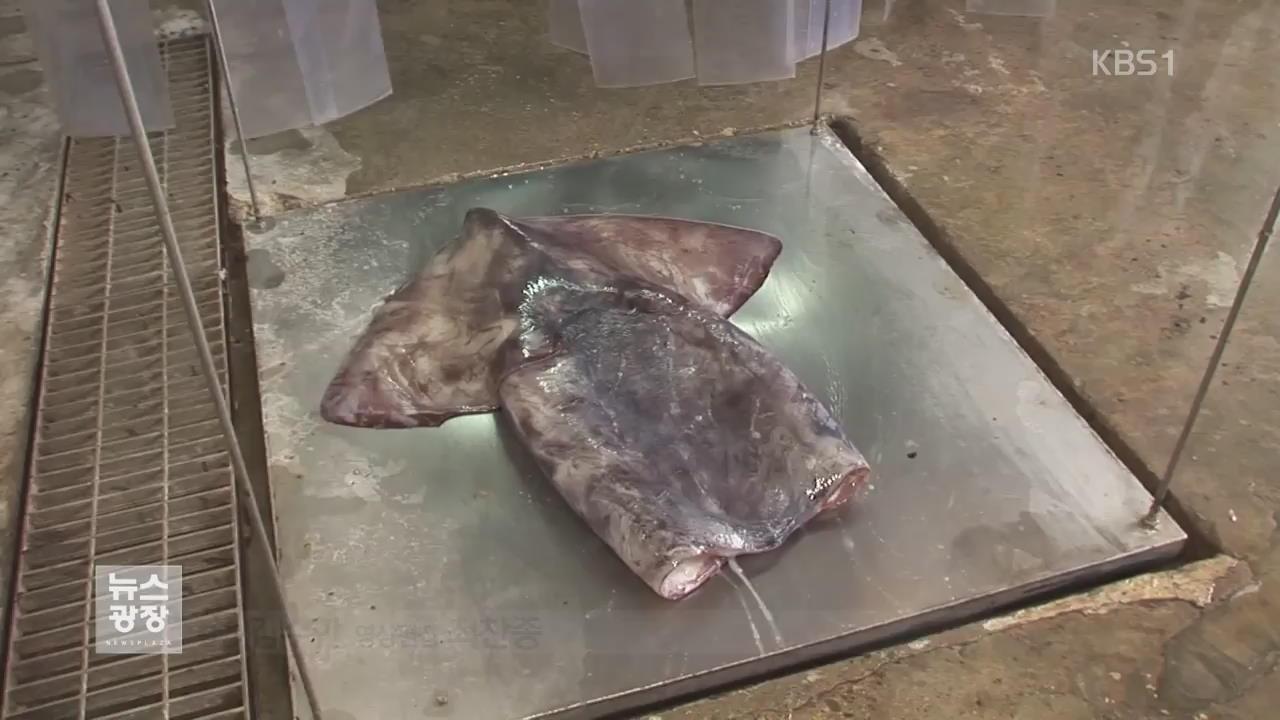 동태평양 라니냐에 수온 '뚝'…사라진 대왕오징어