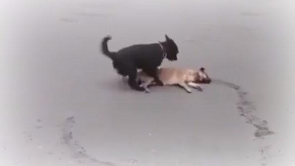 [고현장] 차에 치인 동료 지킨 개(犬)…가슴 찡해