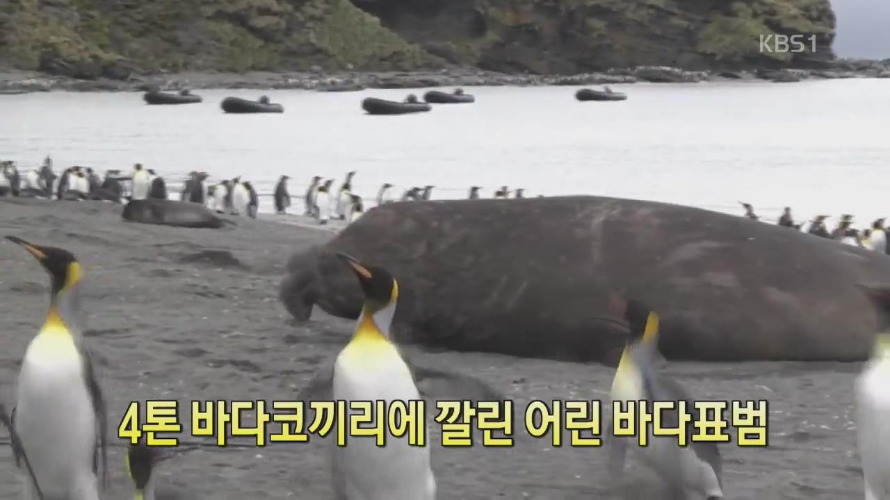 [디지털 광장] 4톤 바다코끼리에 깔린 바다표범