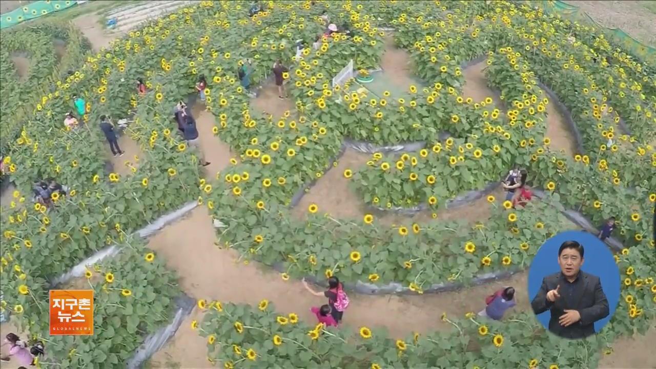 [지구촌 화제 영상] 해바라기 미로