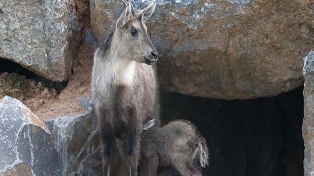 멸종위기종 산양, 국립생태원에서 새끼 출산