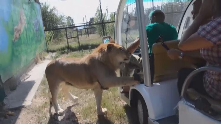 [영상] 사파리 버스에 올라탄 사자, '애교부리기?'