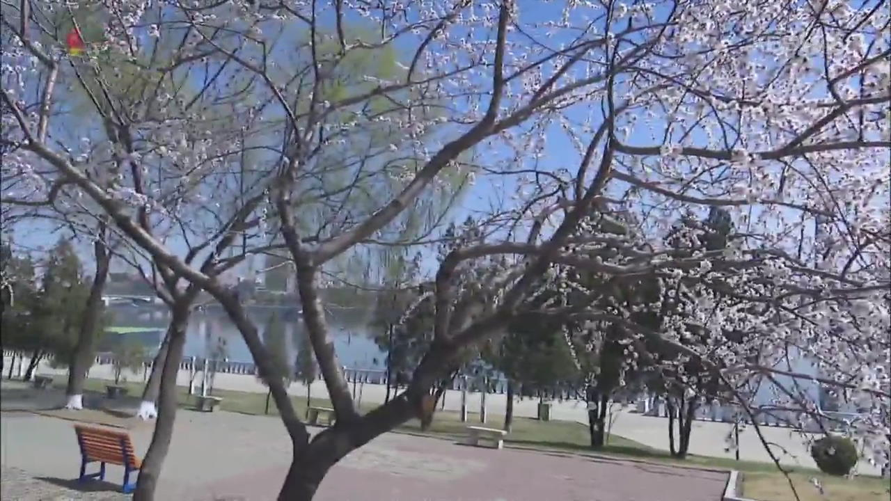 [북한 영상] 봄꽃 핀 평양