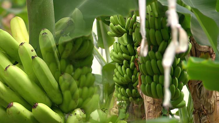 지구온난화…'바나나' 같은 아열대 작물 재배 면적 늘어